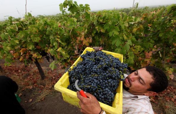 美加州葡萄大丰收 酒农举杯欢庆