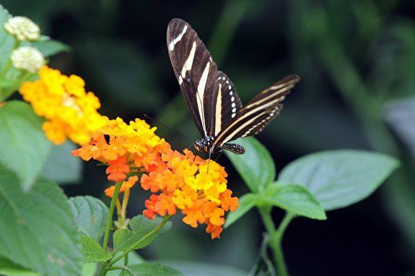 2009年11月12日,哥倫比亞波哥大植物園蝴蝶展。(Eitan Abramovich/Getty Images)