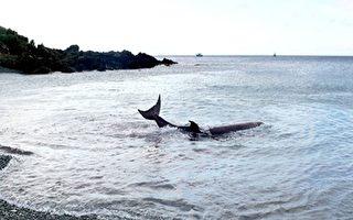 蘭嶼鯨魚擱淺 台東黃牛落井 平安脫困