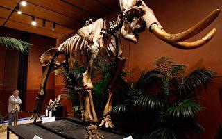 研究:猛獁象滅絕先於人類文明