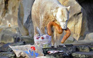 動物明星北極熊「克努特」三歲了