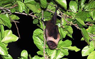 「蝠到」近乎絕跡狐蝠族群現身台龜山島
