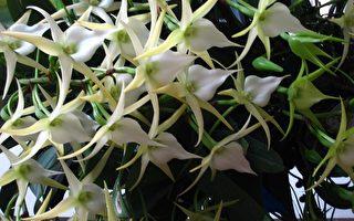 科博館珍奇蘭花展   百朵聖誕之星奪冠