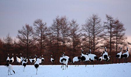 900隻丹頂鶴在白雪覆蓋的日本北海道釧路鶴居村廣大濕地上活動著,場面壯觀。(Koichi Kamoshida/Getty Images)
