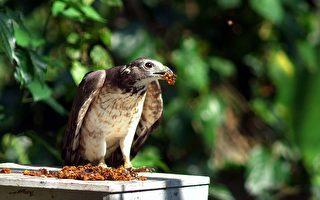 野蜂巢减少  蜂鹰空袭养蜂场