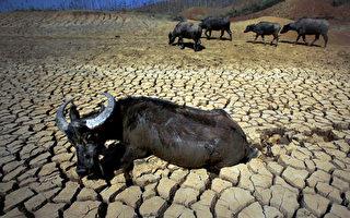 云南正在遭受了百年一遇的干旱天气。图为2月24日,云南省昆明市石林县,一头水牛躺在干涸的河床上。(AFP)