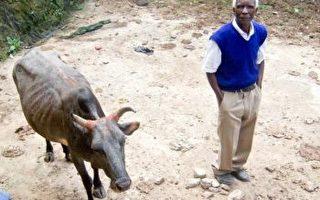 大紀元穿針引線 坦桑尼亞老人如願牽奶牛