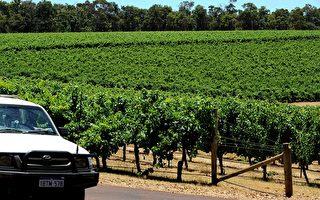 澳洲葡萄酒生产过剩 每年浪费4千万箱
