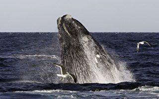 鯨魚能發出一種神秘低音 可遠播200米