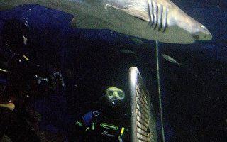 鲨鱼超嗅觉 1/4英哩外一滴血难逃法鼻