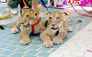 雙胞胎獅超人氣  壽山徵命名