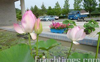 700年前的高丽莲花在韩国绽放