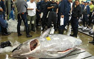 日本超大黑鮪魚  24年來首見