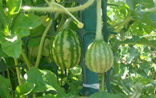 園藝管理:如何有第二季蔬菜豐收