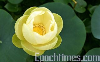 韓國京畿道始興市的蓮花公園裡盛開的睡蓮千姿百態,姣美無比。睡蓮因晝舒夜卷而被譽為「花中睡美人」。她是水生花卉中的名貴花卉。上午9點到11點之間是觀賞睡蓮的最佳時間。(金國煥/大紀元)