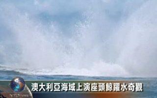 澳大利亞海域上演座頭鯨躍水奇觀