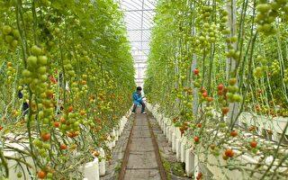 澳农场主通过承包商雇佣签证逾期者