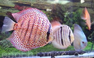 組圖:台觀賞魚博覽會  光彩奪目魚種繽紛亮相