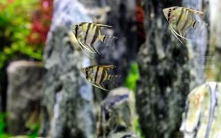 組圖:台灣觀賞魚博覽會   今29日亮相