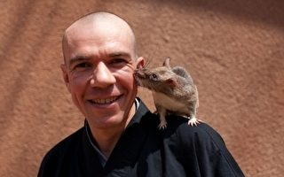 非洲巨鼠 扫地雷高手