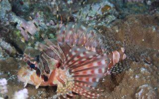 斑马纹多臂蓑鲉 海洋中的美丽杀手