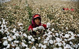 大陆棉价上涨 棉花被掺砖头 厂家停购