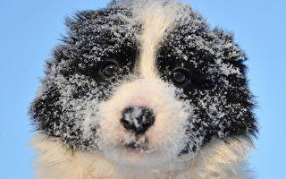 组图:苏格兰边境柯利牧羊犬 聪颖可爱
