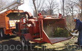 【图片新闻】圣诞树回收可再利用