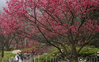 圖片新聞:陽明山花季登場