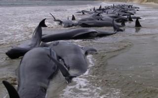 新西蘭107隻領航鯨擱淺海岸死亡