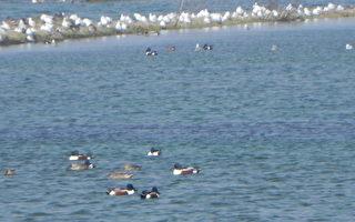 圖片新聞:布袋鹽田-鳥類天堂
