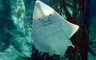 海洋世界無奇不有 人面笑臉吉他魚