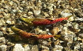 专家预测:今年红鳟三文鱼洄游将骤减