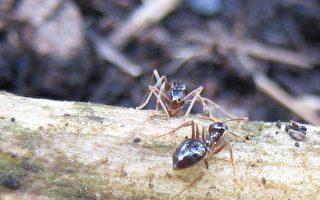 萬物皆有靈:能聽懂我的話的螞蟻