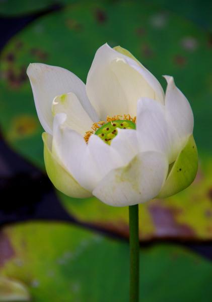 莲花又称荷花,大暑正莲花盛开时。(王嘉益 / 大纪元)