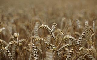澳洲宣布向世貿組織申訴 挑戰中共大麥關稅