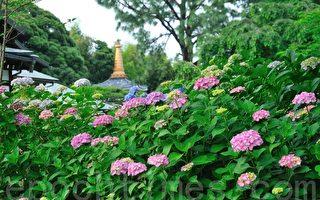 夏至赏绣球花正是时候 阳气至极团团满