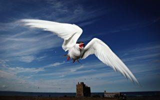 小鸟比iPhone轻 创9.6万公里迁飞纪录