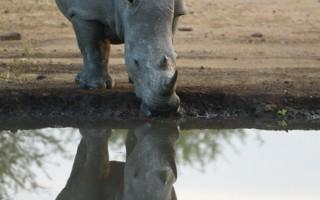 南非犀牛遭盜獵 半年近兩百頭