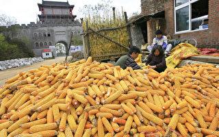大陆农业部放行争议转基因玉米受质疑