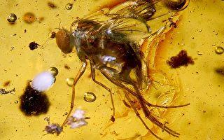 组图:罕见2300万年前昆虫 秘鲁琥珀现踪