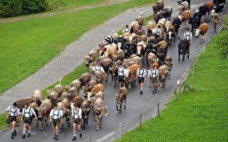 图片新闻:阿尔卑斯山乳牛回家啰!