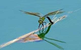 昆虫很奇妙 蜻蜓大眼睛中藏着什么秘密