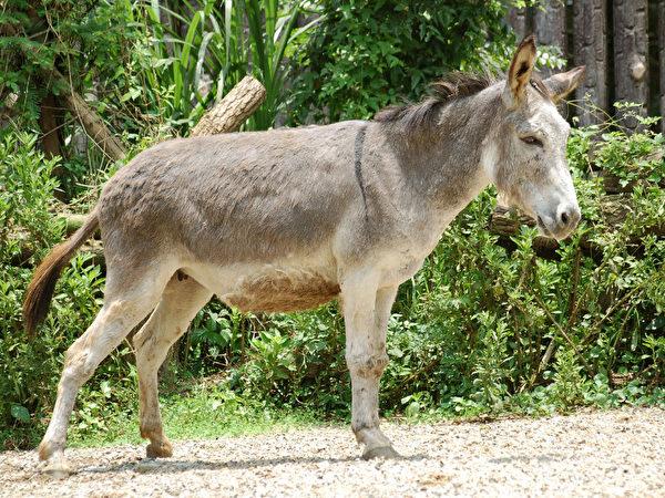 驢子 (攝影:王嘉益 / 大紀元)