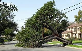 圣安娜风来袭 谨防大树倒塌