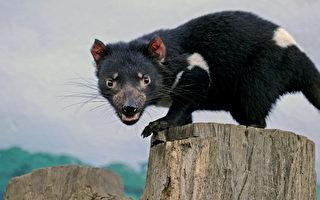 挽救袋獾命運 澳洲科學家凍結其卵和精子
