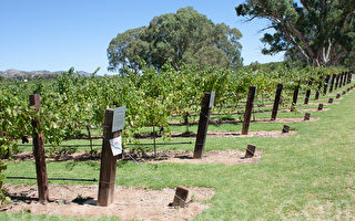澳洲葡萄酒業均質化  危及地區特色