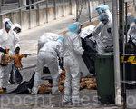 渔护署昨日在长沙湾临时家禽批发市场展开灭鸡行动。图为该署人员在收拾死鸡。(摄影:潘在殊/大纪元)