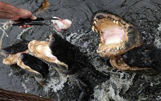 佛州近日再次發生鱷魚攻擊人事件