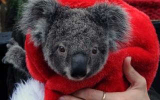 無尾熊也得到了一件新的聖誕帽。(STF: TORSTEN BLACKWOOD / AFP ImageForum)